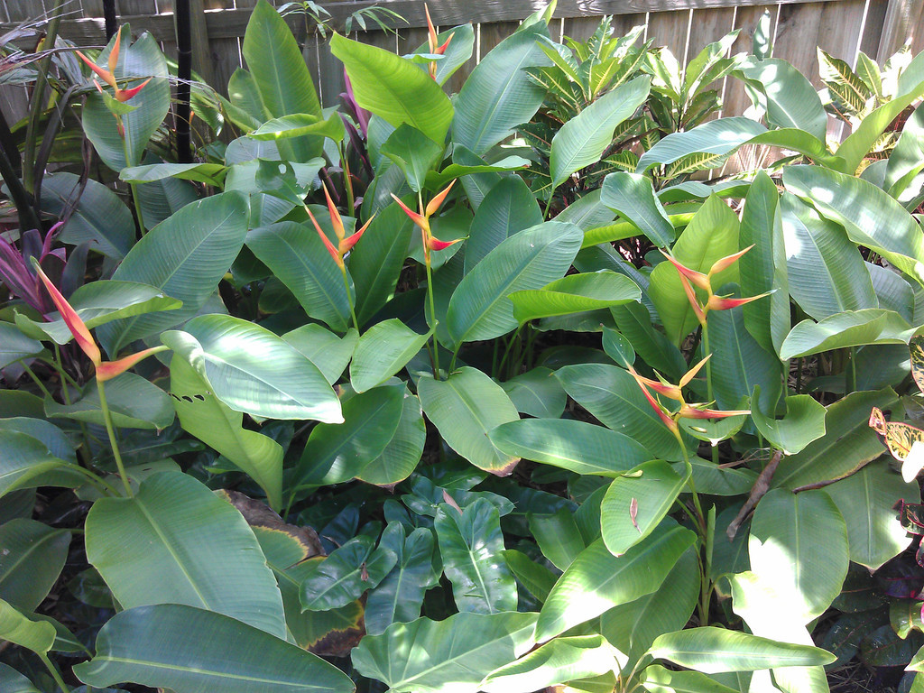 heliconia latispatha distans cold hardy for sale florida