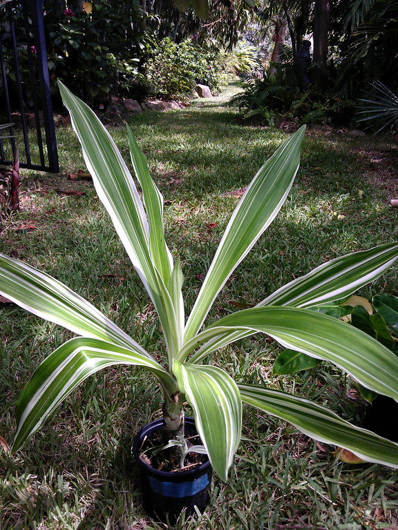 rare variegated crinum asiaticum for sale